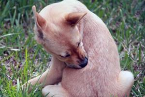 Зуд у собаки