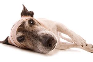 Травма головы у собаки