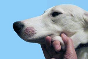 Признаки грибка у собаки