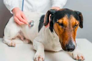 Признаки кашля у собаки