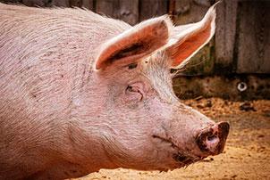Крупная белая свинья