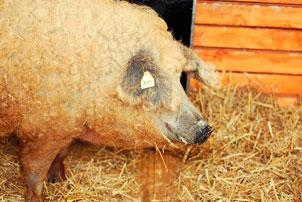 Белая пушистая свинья