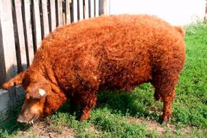 Красная шерстяная свинья