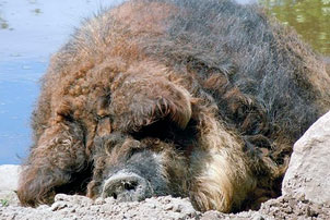 Спящая мангалица