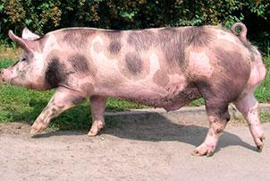 Свинья пьетрен