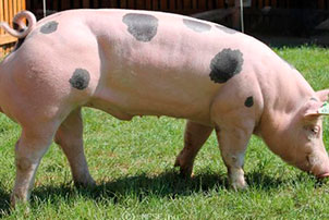Крепкая приземистая свинья